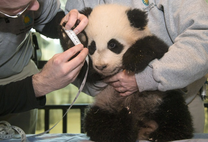 Bao Bao, the four and a half month old giant panda cub, has her right forefoot measured at the Smithsonian's National Zoo in D.C.