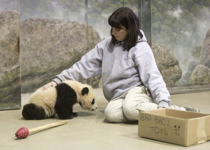 Bao Bao, the four and a half month old giant panda cub, trains with biologist Laurie Thompson.