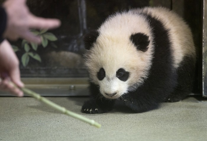 Bao Bao, the four and a half month old giant panda cub, trains with an animal keeper at the Smithsonian's National Zoo in D.C.