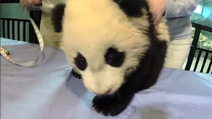 Image: Bao Bao the giant panda cub