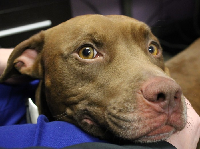 The 2-year-old pit bull, now named Soldier after the man in the photograph, is waiting to be adopted.
