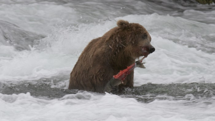 A bear feeds on salmon.