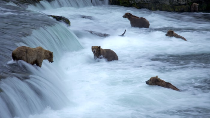 Bears search for salmon at Katmai National Park's Brooks Falls in Alaska.