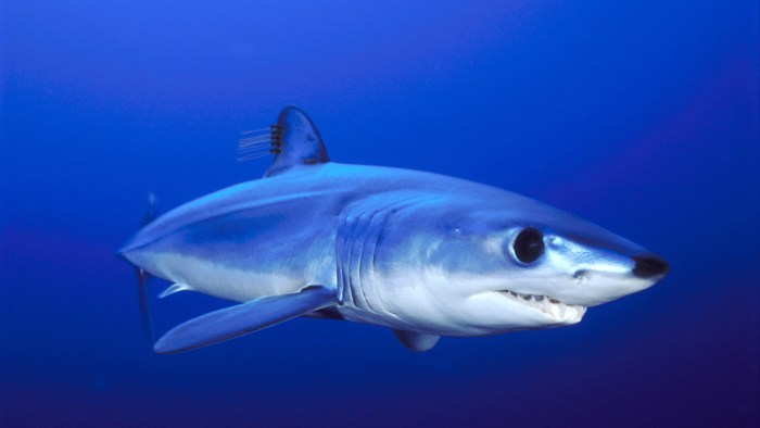 Image: shortfin mako shark