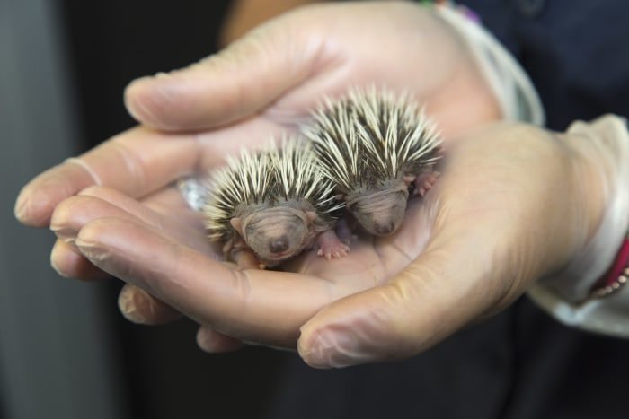 Two tiny orphaned hedgehogs sit delicately cradled in the cupped hands of a dedicated animal care assistant. Aged under a week old, the hoglets measur...