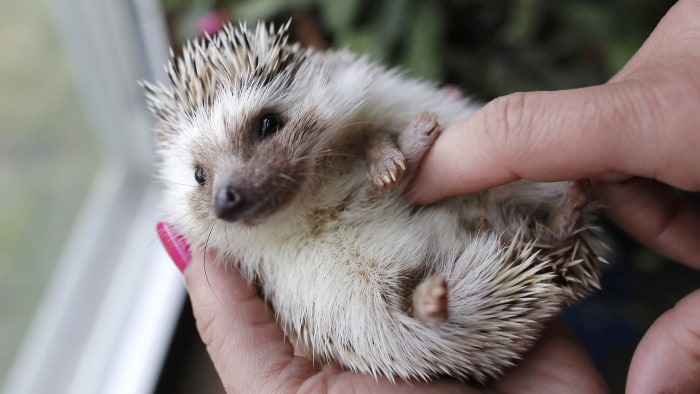In this May 6, 2014 photo hedgehog breeder and trainer Jennifer Crespo, of Gardner, Mass., holds a pet hedgehog at her home in Gardner, Mass. Hedgehog...