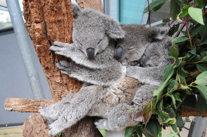 epa04236073 A handout picture made available by the Taronga Zoo on 02 June 2014 shows three koala joeys, Sydney, Milli and Tucker sleeping together in...