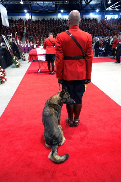 Danny, the K9 partner of slain RCMP Const. Dave Ross, looks around at the start of the RCMP regimental funeral on Tuesday, June 10, 2014 in Moncton, N...