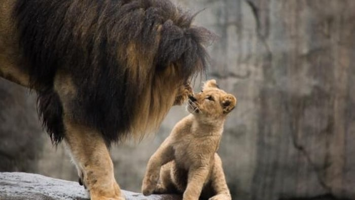 Lion cub meets her dad for the first time.