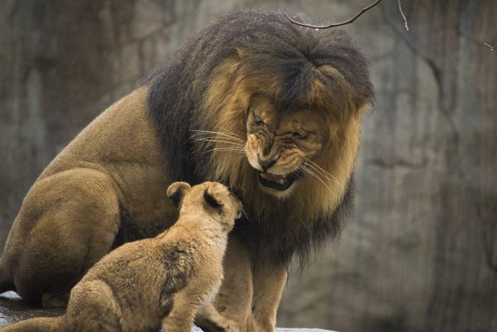 Zawadi plays with his cubs for the first time in the Oregon Zoo's habitat on Feb. 27.