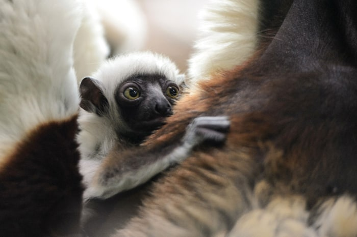 Baby Kapika holds onto her mother at the Primate House at the Saint Louis Zoo.