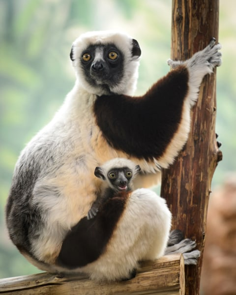 "The female baby sifaka was born at the Saint Louis Zoo's Primate House on Jan. 21, 2014. Her name Kapika means ""peanut"" in Malagasy."