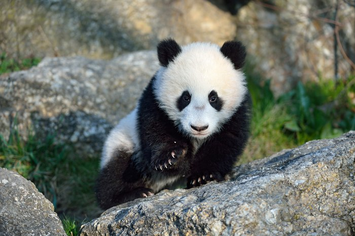 Fu Bao takes his first steps outside of his enclosure at the Tiergarten Schonbrunn Zoo in Vienna, Austria.