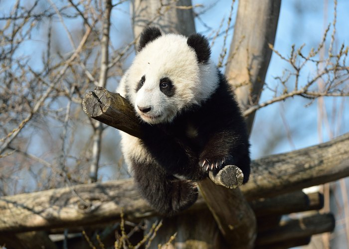 Baby Fu Bao takes in the view from his perch in his enclosure at the Schonbrunn Zoo. The seven-month-old panda was allowed to explore outdoors for the...
