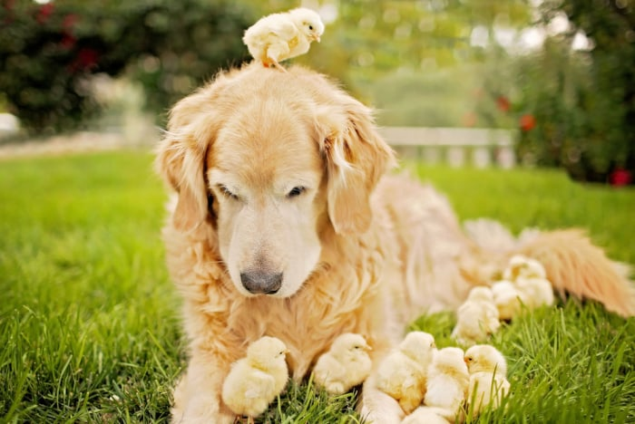 Dog snuggles with chicks.