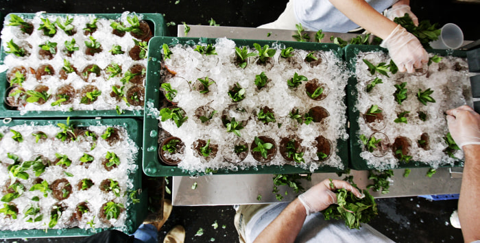 About 2,250 pounds of fresh mint will be used to serve up mint juleps to the crowd as part of the annual tradition at Churchill Downs for Saturday's Kentucky Derby.