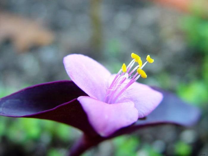 Wandering Jew indoor flowering plants