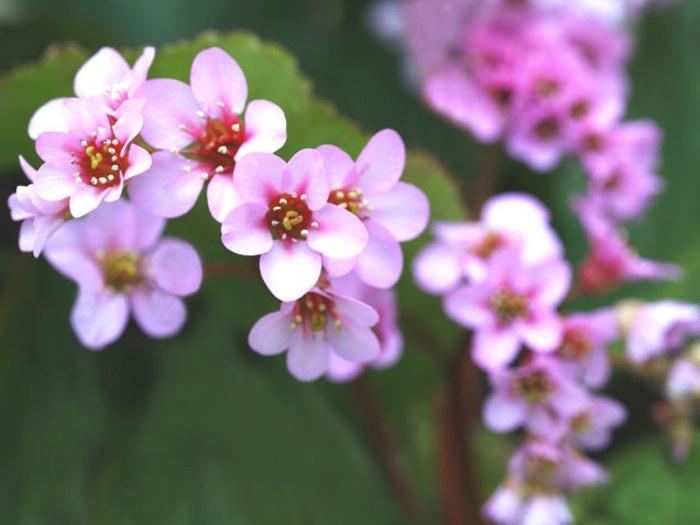 Geranium indoor flowering plants