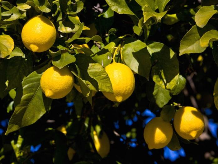 Ponderosa Lemon indoor flowering plants