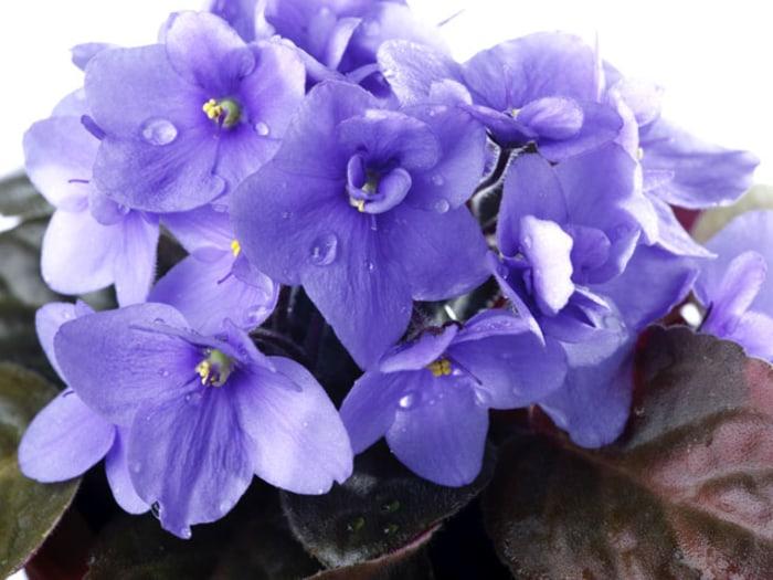 African Violet indoor flowering plants