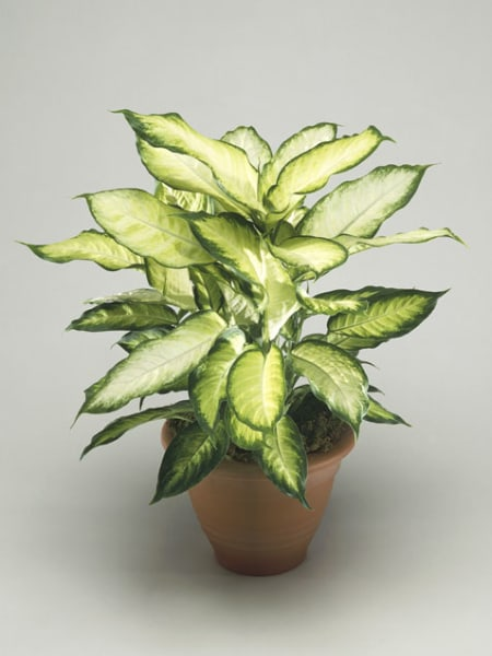 Dieffenbachia indoor flowering plants