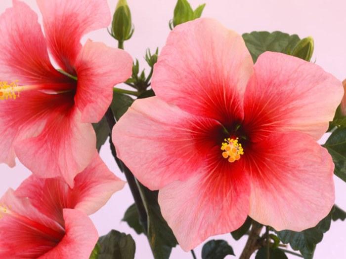 Hibiscus indoor flowering plants