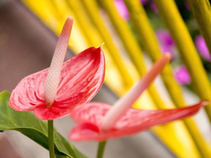 Anthurium indoor flowering plants