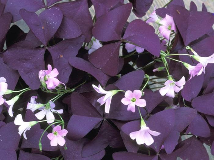 Oxalis indoor flowering plants