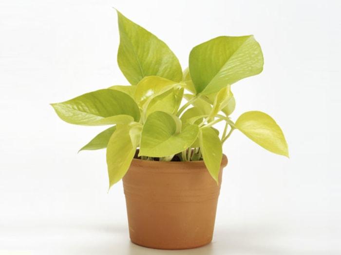 Golden Pothos indoor flowering plants