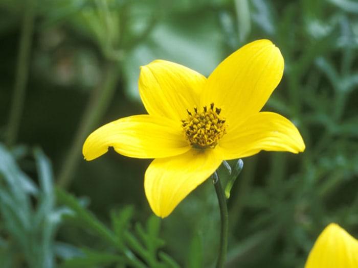 Yellow Goddess Amaryllis indoor flowering plants