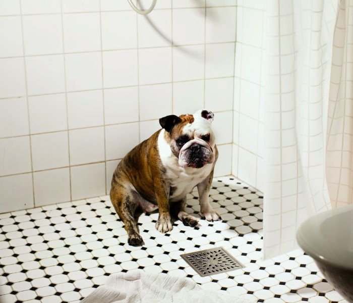 A bulldog finds his way into the shower.