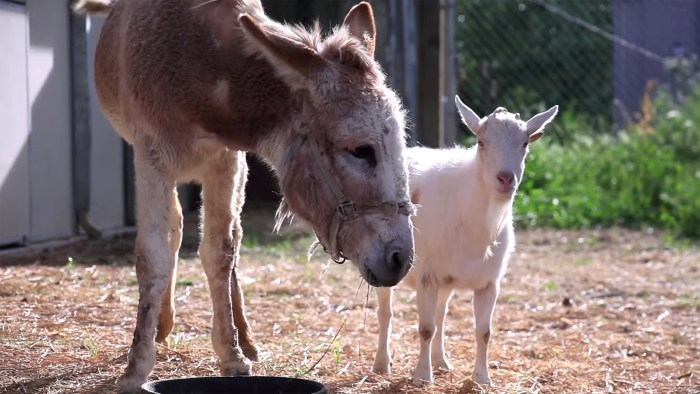 Image: Jellybean the burro and Mr. G the goat reunited at an animal sanctuary