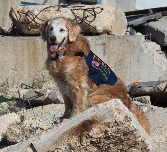 9 11 Ground Zero Search Dog Still Lends Helping Paw