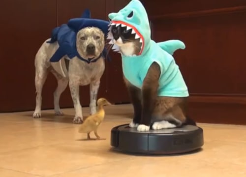 Max The Roomba Cat Takes A Bite Out Of Shark Week Today Com