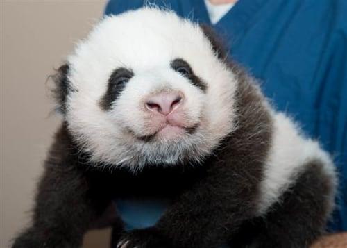 Giant panda Mei Xiang gave birth to Bao Bao on August 23.