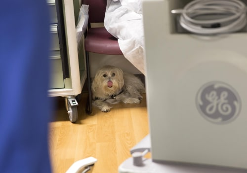 "During a cystoscopy procedure at Duke University Hospital in Durham, North Carolina, seven-year-old Kaelyn ""KK"" Krawczyk's service dog JJ waits in the..."