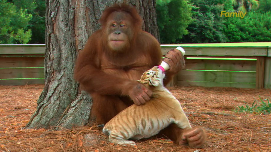 Orangutan Tiger Cubs Myrtle Beach