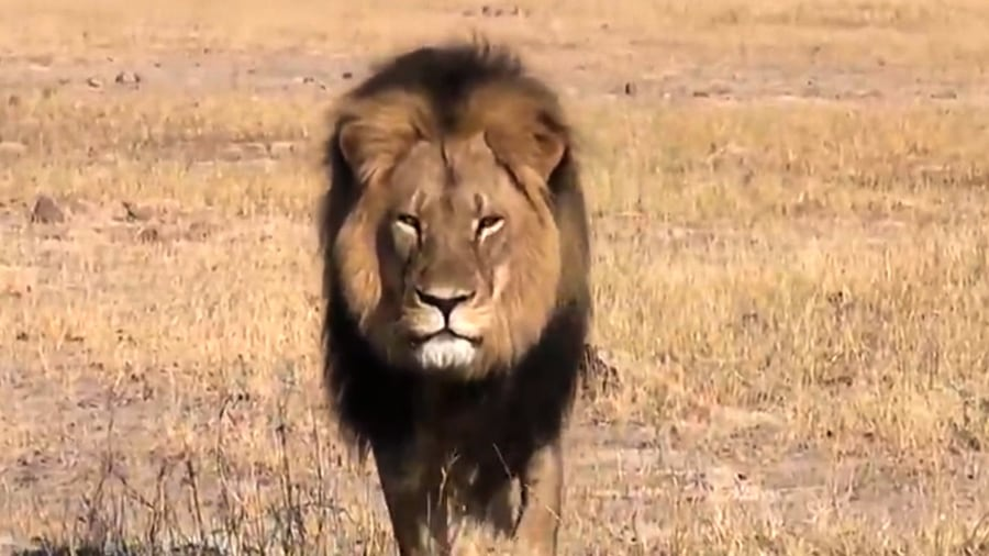 Cecil the lion s killer walter palmer speaks out returns to work