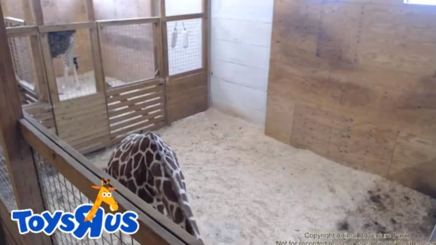 April the giraffe: Help name her newborn