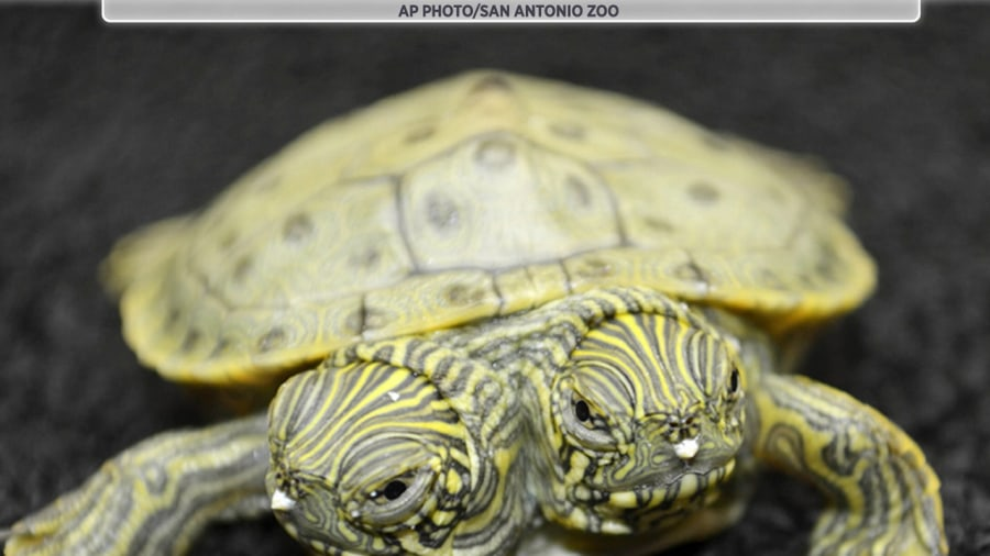 What Turtles Make Good Pets : Two-headed turtle and 7 animals to make you see double - TODAY.com