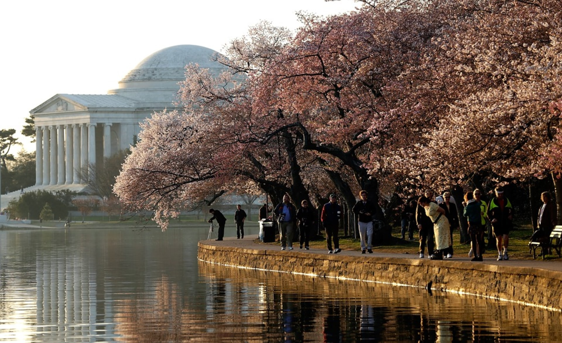 Image: DC's Cherry Blossoms Come To Late Bloom