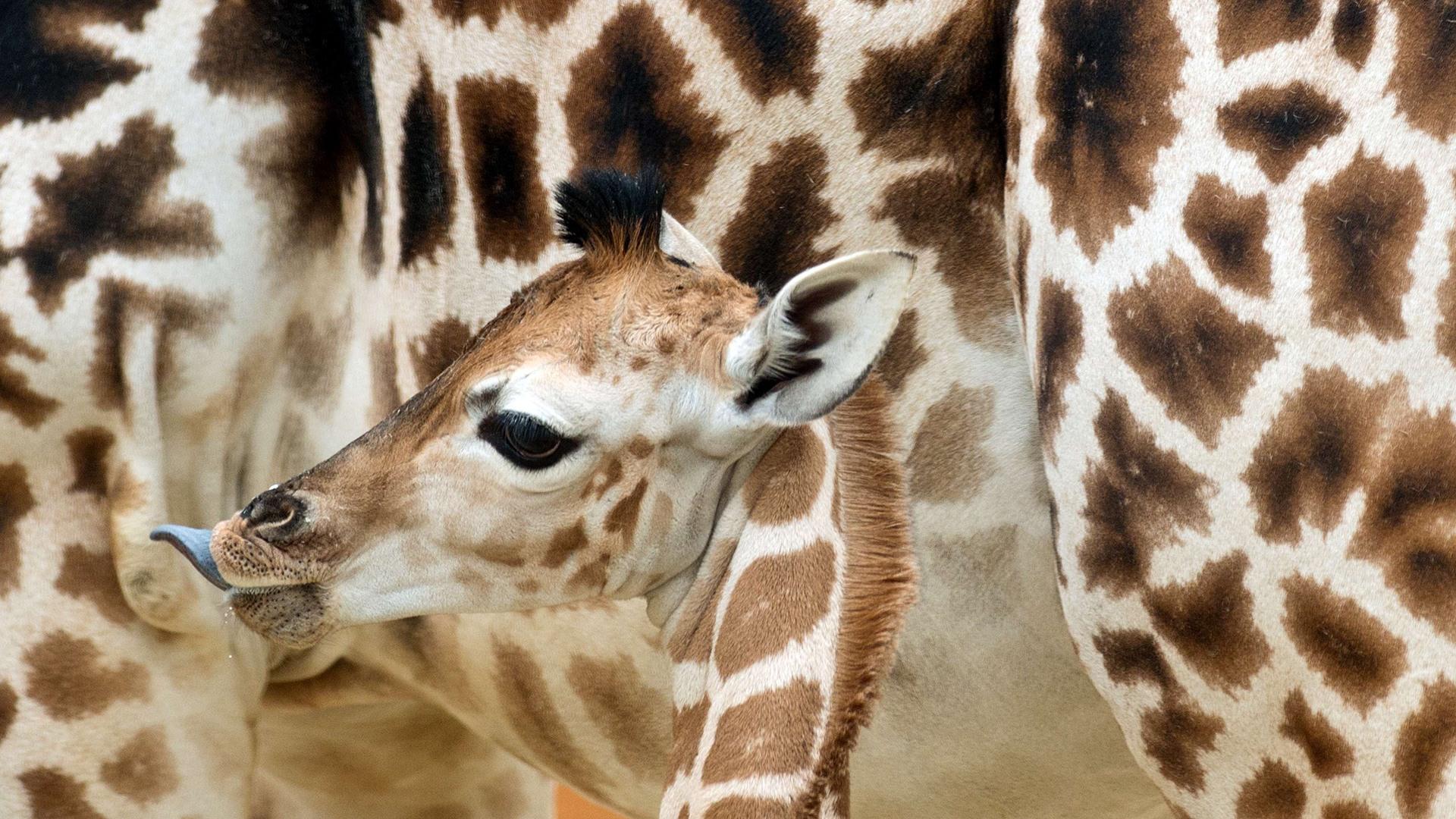 Image: GERMANY-ANIMAL-GIRAFFE