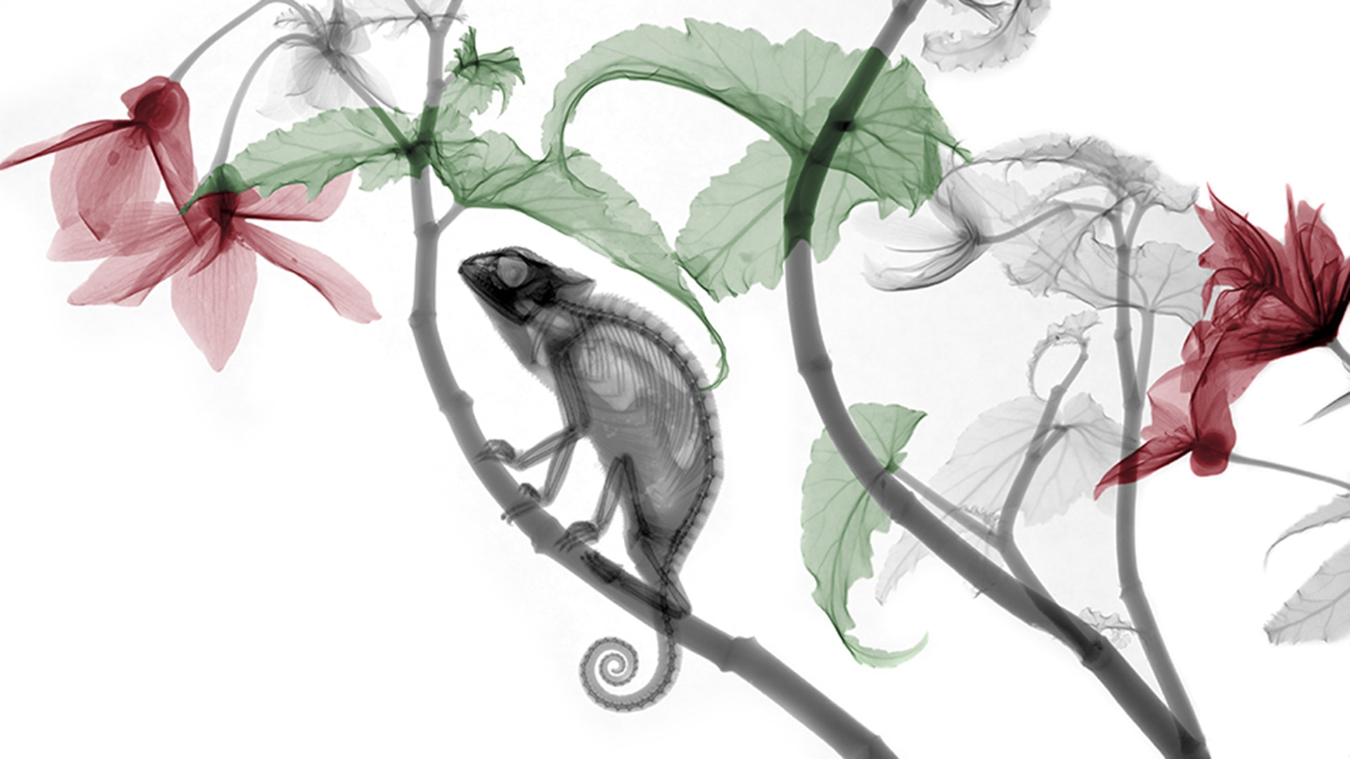 Chameleon, X-ray