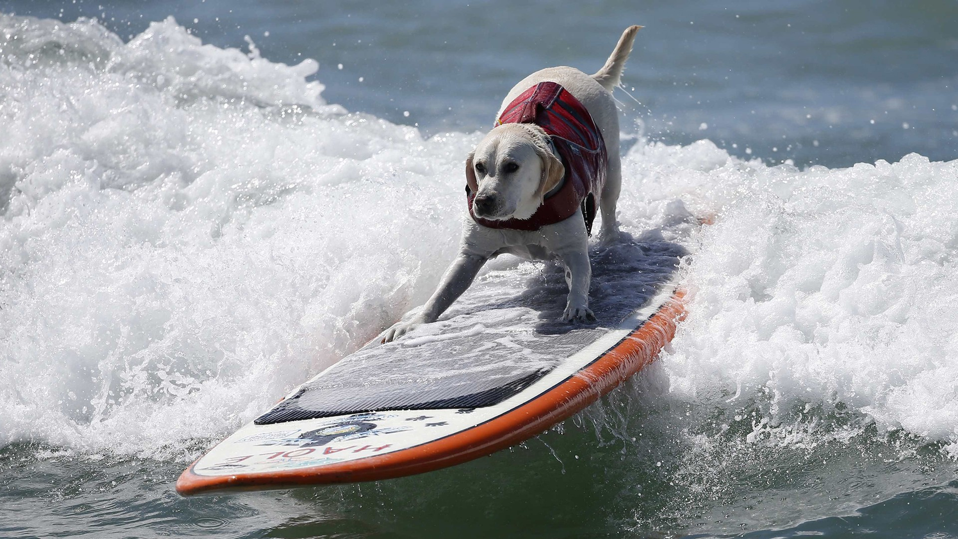 dogs surf in surf city dog competition todaycom