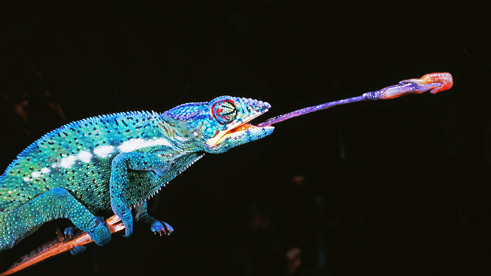 Chameleon catching prey