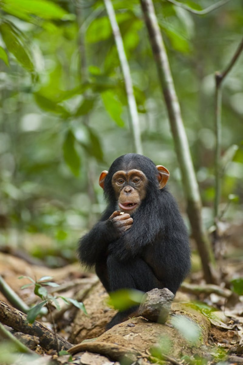 """Disney's movie Chimpanzee ~ """"There is meaning in those eyes."""""""
