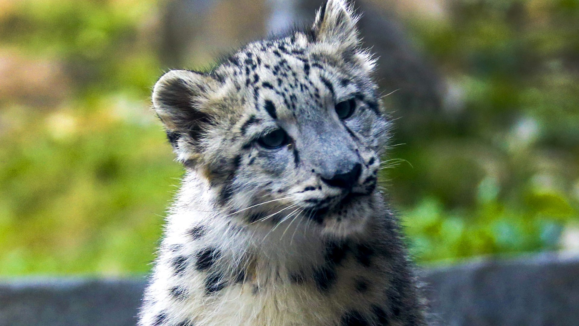 Image: Snow Leopard cubs at Brookfield Zoo