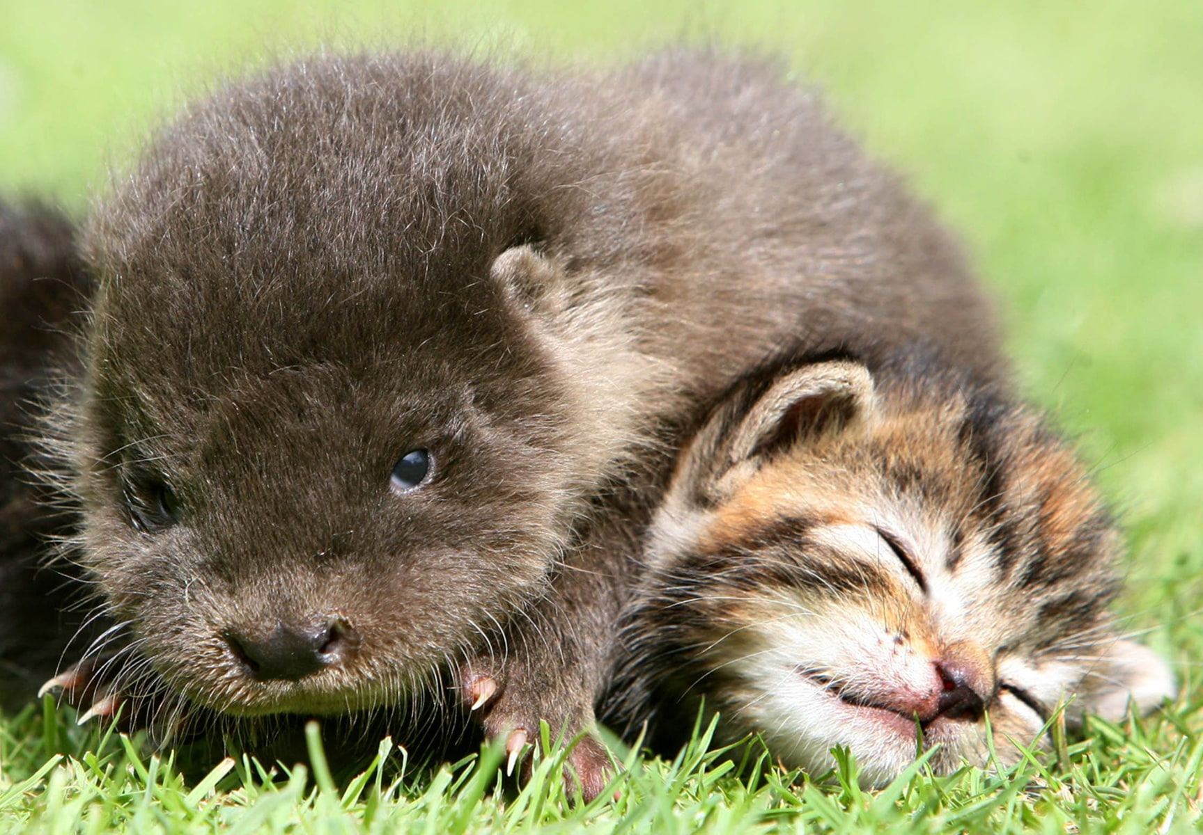 Orphaned otter becomes friends with orphaned kittens at the Secret World Rescue in Somerset, Britain - 07 Aug 2011