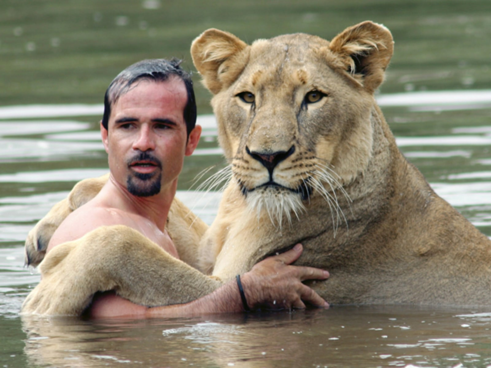 Lioness Swims With Her Trainer 10/16