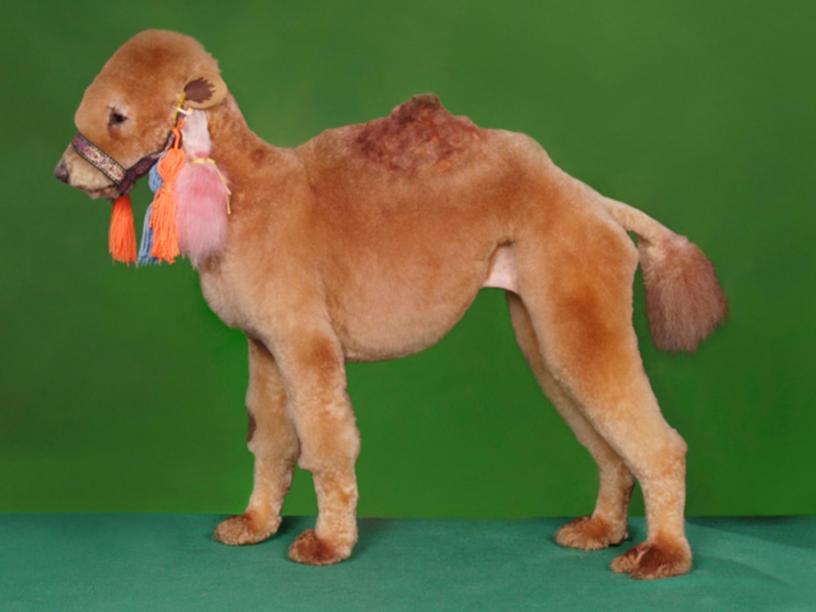 Image: Camel or poodle?
